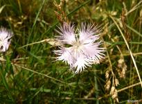 oeillet de Montpellier-Dianthus hyssopifolius