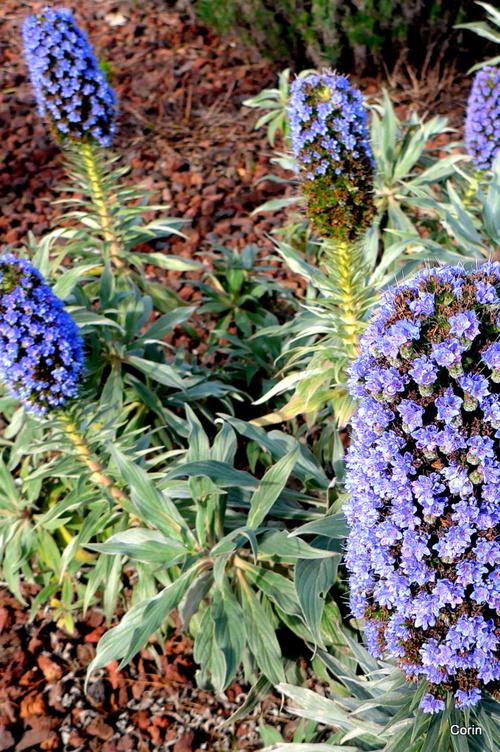 Une belle fleur bleue !