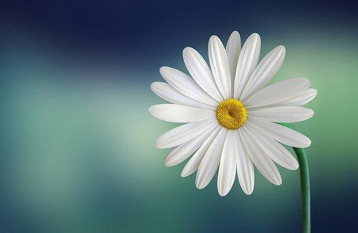 Marguerite, Fleur, Blanc, Belle, Beauté