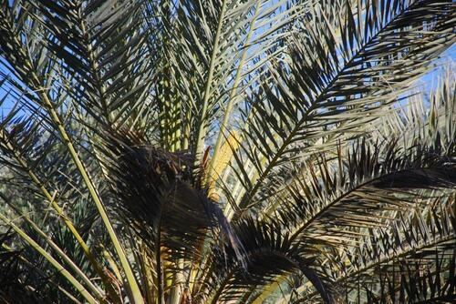 Palmier femelle