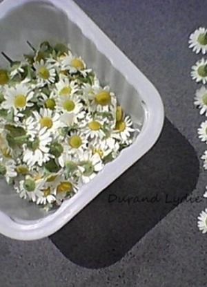 Camomille ou Tanacetum Parthenium - les fleurs