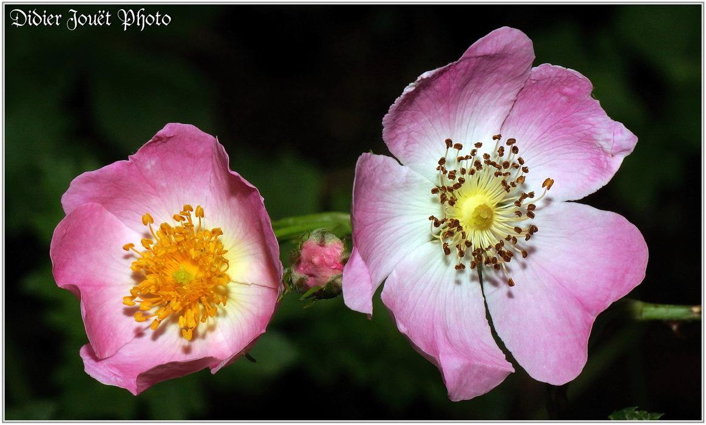Eglantier - Rosier des Chiens / Rosa canina