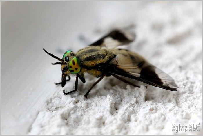 La mouche aux yeux verts !