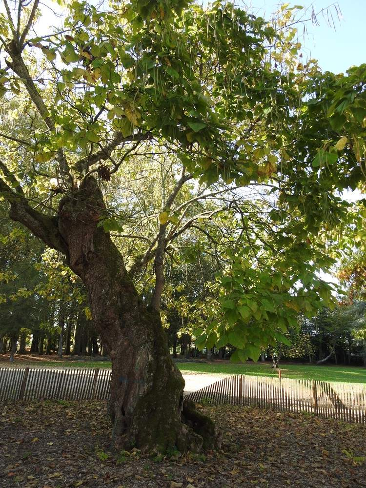 Le catalpa et le noyer noir du parc Treulon à Bruges...