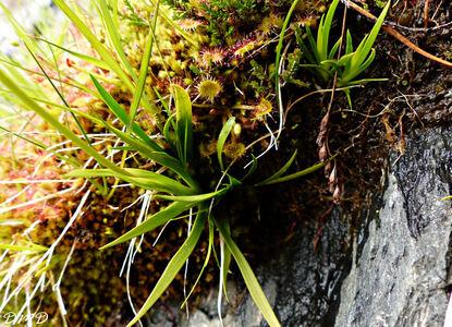 Tofieldia calyculata  -  tofieldie à calicule