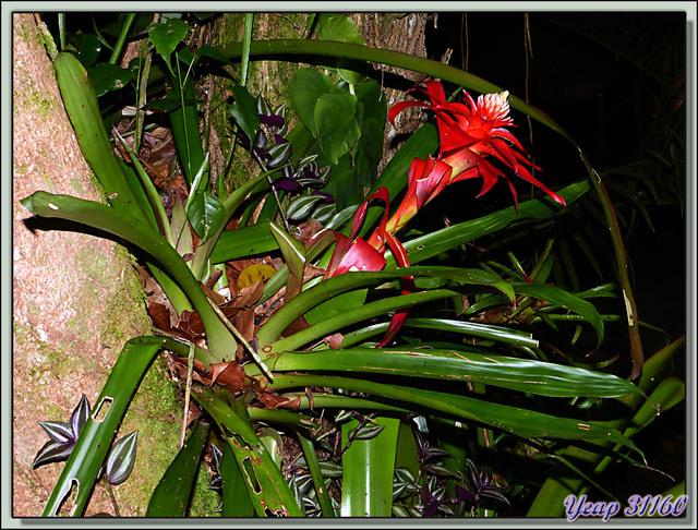 Blog de images-du-pays-des-ours : Images du Pays des Ours (et d'ailleurs ...), Promenade de nuit: bromelia en fleur - Puerto Viejo de Talamanca - Costa Rica
