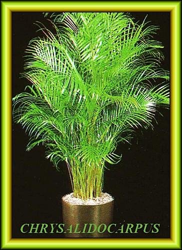 Acea Palm