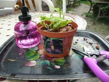 orchidées aout 013