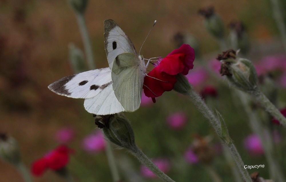 Simplement papillons : piéride et citron