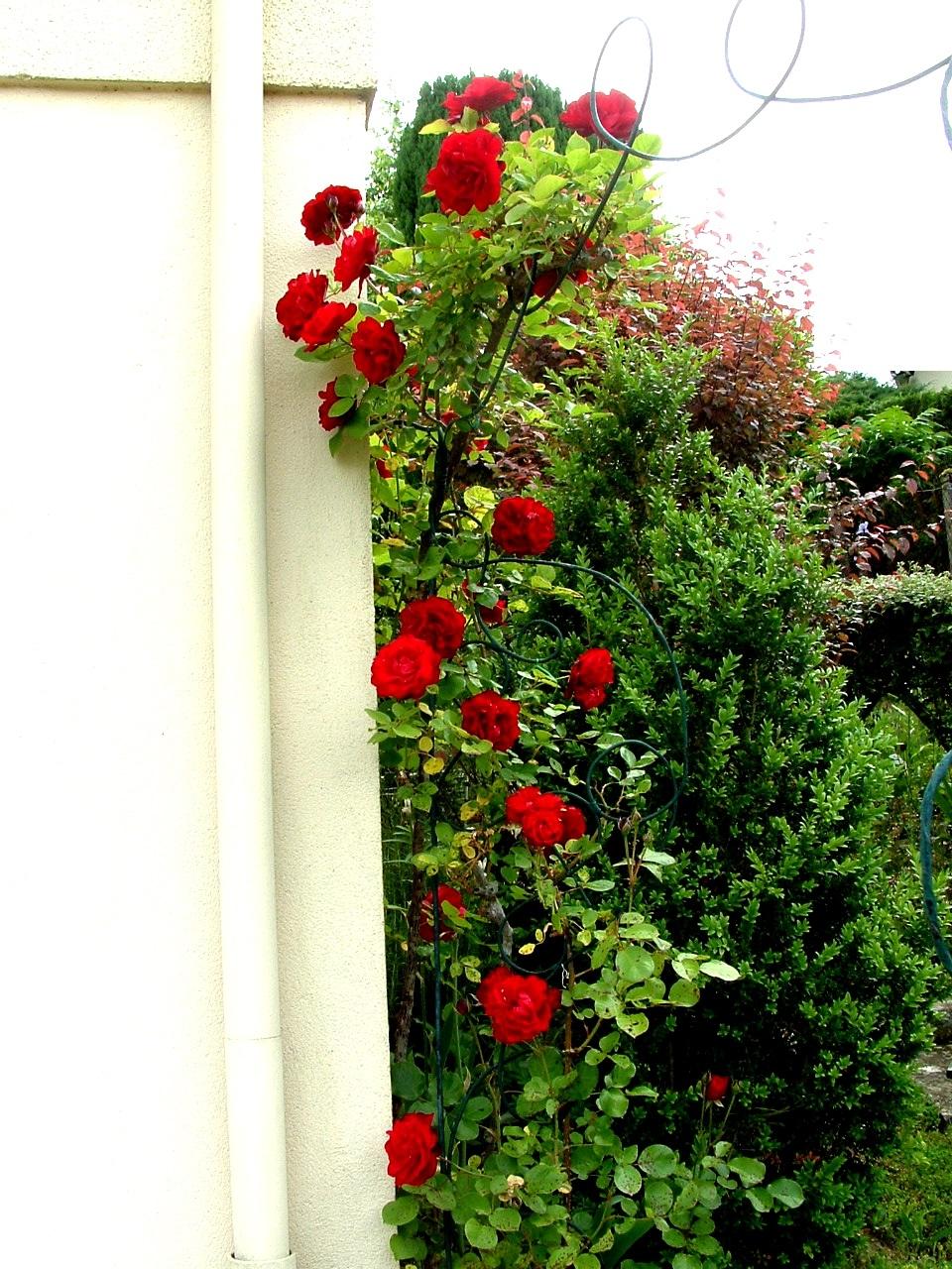 Quelques roses du jardin en ce mois de Juin