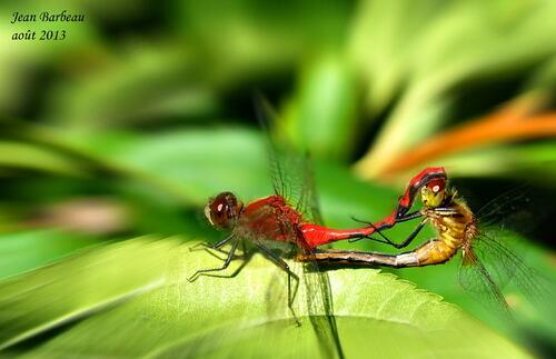 Étreinte entre le mâle et la femelle Sympétrum