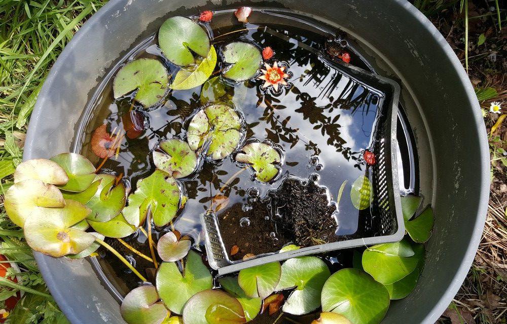 Drôle de fleur dans le petit bassin à nénuphars...
