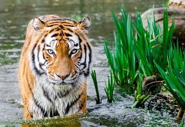La tigresse de Champawat ...
