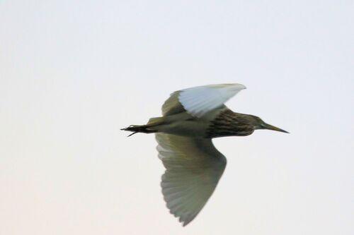 Crabier chinois (Chinese Pond Heron)