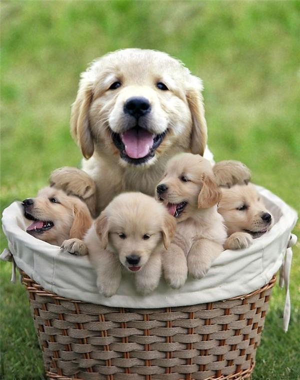 Maman Golden et ses bébés!!