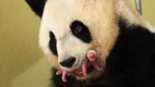 Un bébé panda chez vous...ça vous dit ?