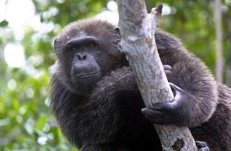 Loire : un soigneur de zoo gravement blessé à la main par un chimpanzé