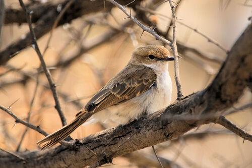 Gobemouche du Marico (Marico Flycatcher)