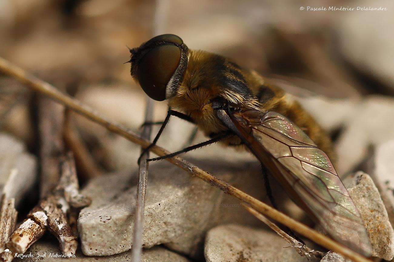 Bombyle Hottentot (Villa hottentota) - Bombylidae