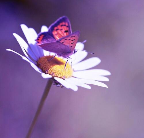 Marguerite et Papillon...pad.