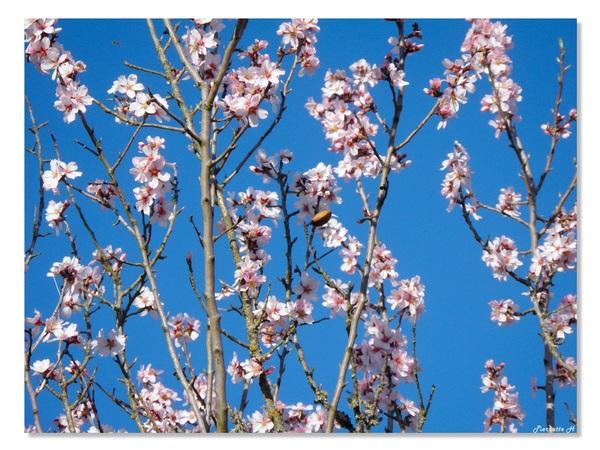 Floraison des amandiers