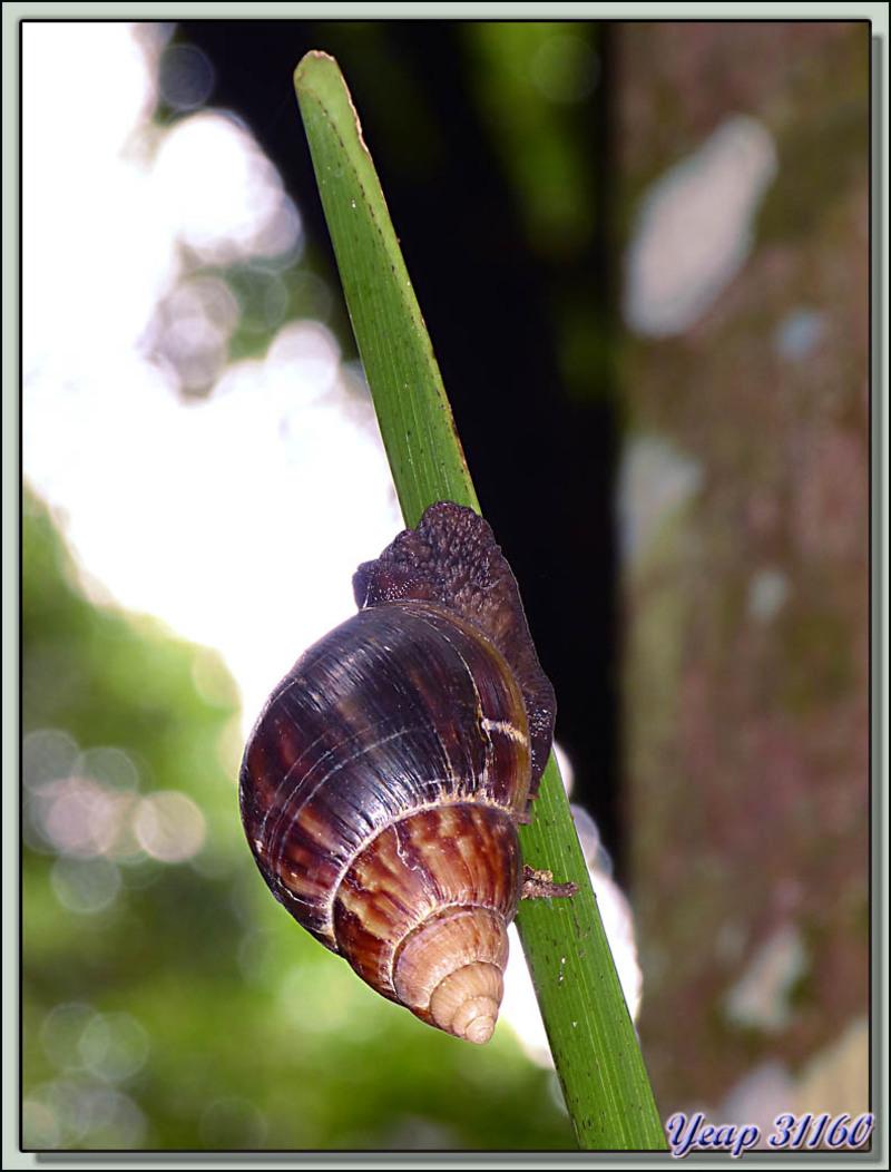 Escargot géant africain (Achatina fulica), espèce introduite - Moorea - Polynésie française