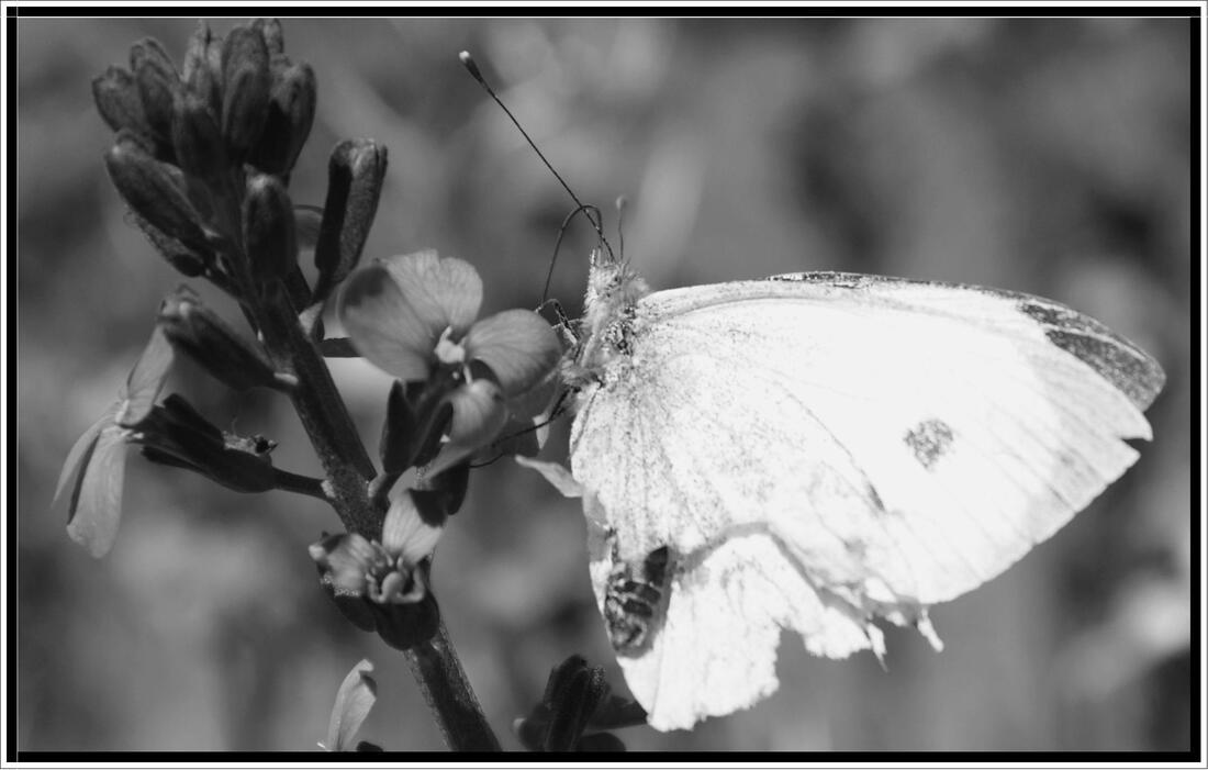 Défi noir et blanc : le papillon