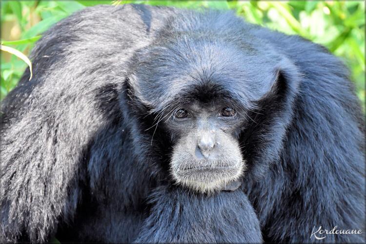 Photos de Siamang - Zoo du bassin d'Arcachon