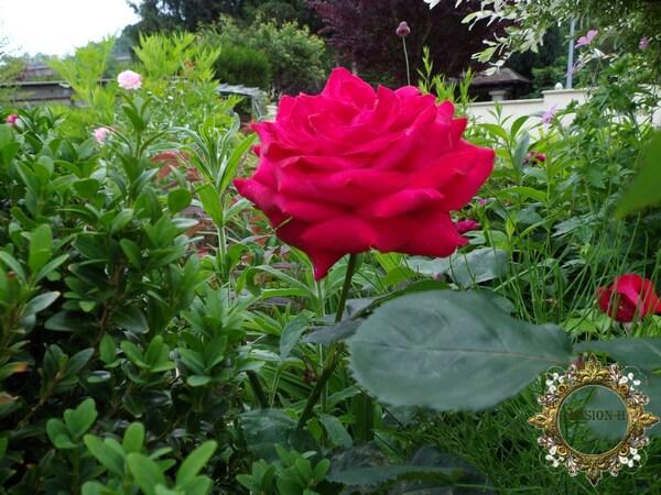 une histoire de rose
