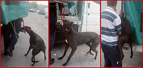 Destination l'enfer , les greyhounds irlandais vendus aux enchères
