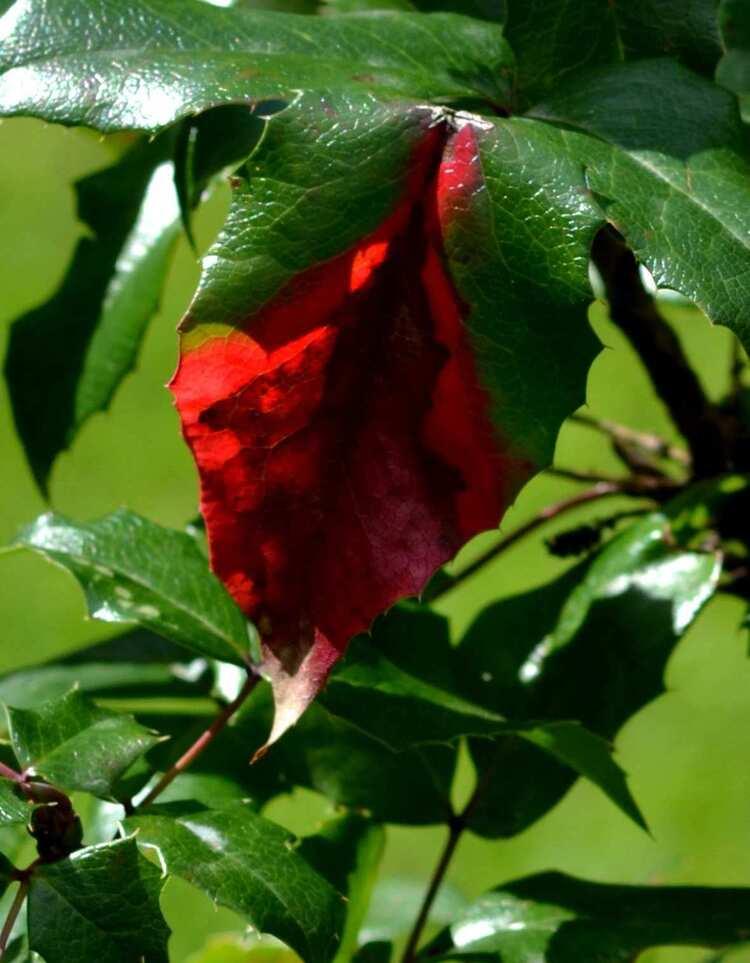 L'automne arrive sur mon mahonia - Bon week end à toutes et tous