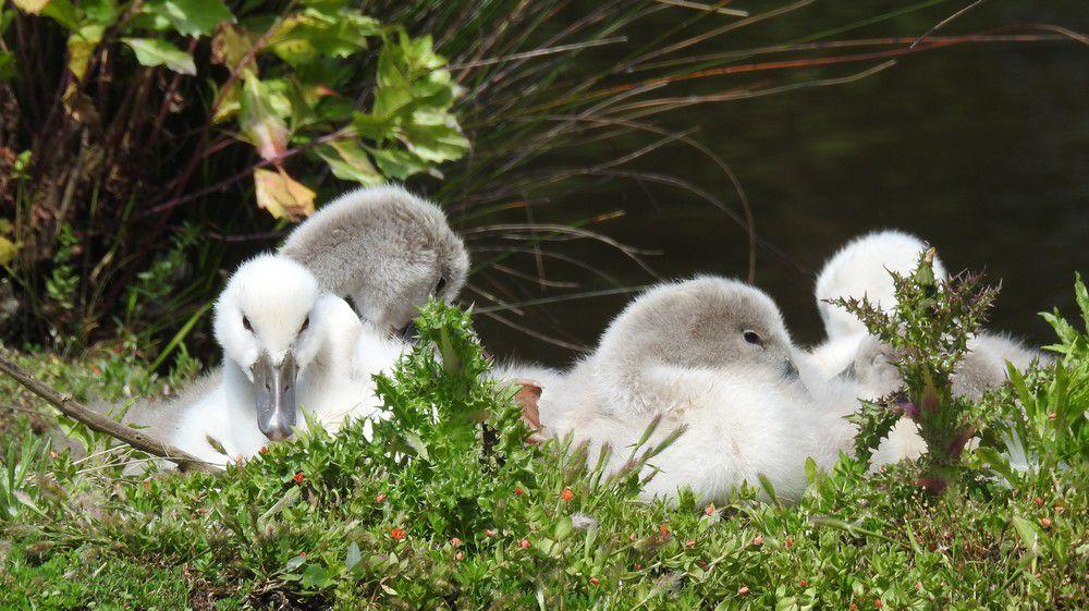 Un couple de cygnes et leurs cygnons, au Teich...