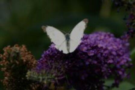 L'arbre à papillons  (le buddmeeia )