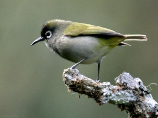 Oiseau-lunette vert