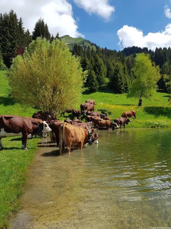Montée à l'alpage pour les vaches au Grand Bornand - HS