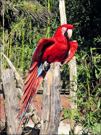 Photo de ara chloroptère du zoo de Pessac