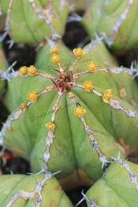 Euphorbia Echinus en fleur - 2015