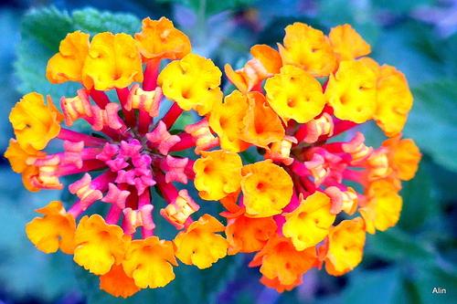 Variation sur les fleurs du lantana
