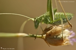 Tettigoniidae (Sauterelles)