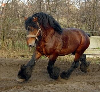 Le cheval de trait ...