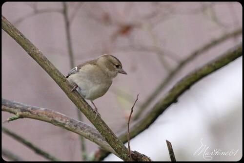 Pinson des arbres : la femelle