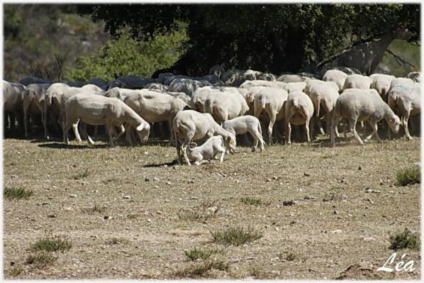 _MG_6215-agneau-tete.jpg