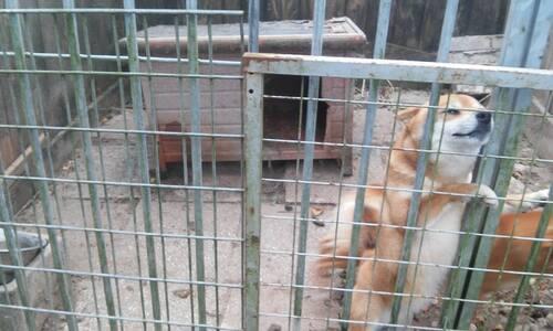 Sauvetage de chiens nordiques retirés d'élevage / Au nom des galgos