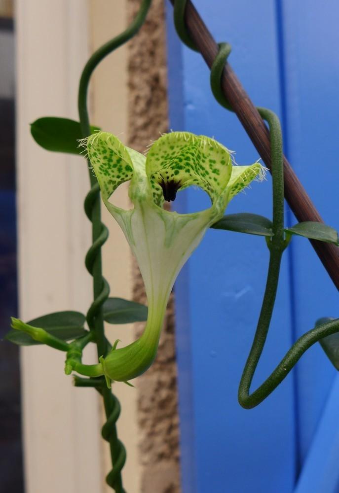 Ma plante à lanternes d'Afrique - août 2018...