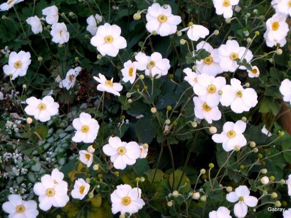 c04---Anemones-du-Japon.JPG