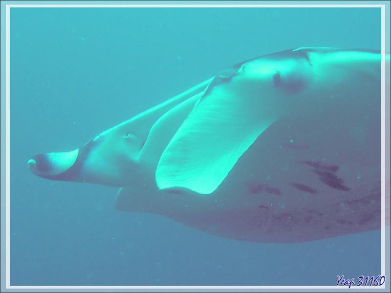Raie manta d'Alfred, Manta de récif, Diable de mer, Manta ray, Alfred manta, Prince Alfred's ray, Coastal manta ray (Manta alfredi) - Moofushi - Atoll d'Ari - Maldives