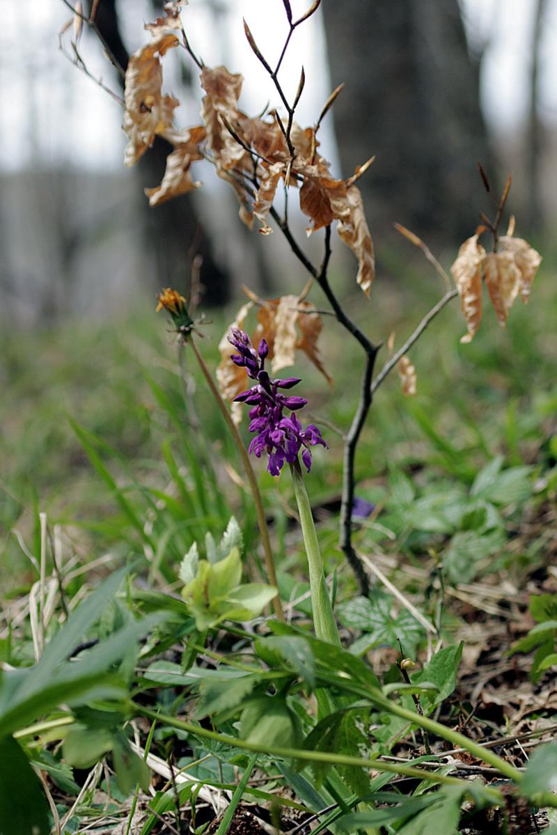 Orchis mâle, hellébore et jeune hêtre - Massif du Puech - Couledoux - Boutx - 31  (Flore)