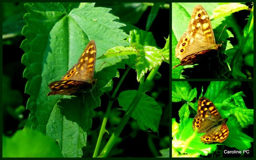 *libellules, papillons and C°, et albizias*