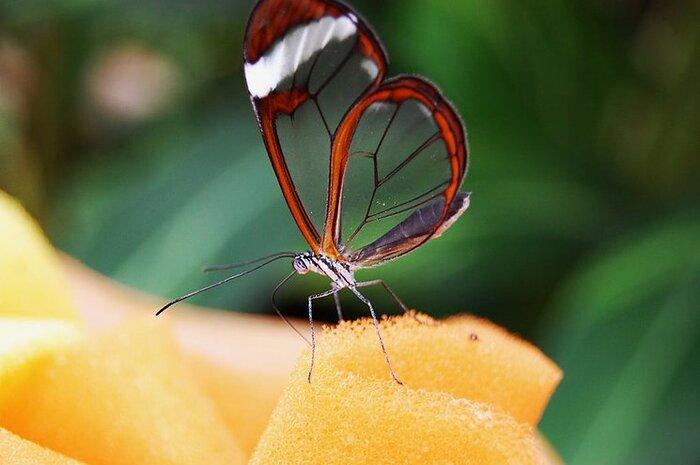 Portrait Du Greta Oto...Un Papillon Translucide D'Amérique Latine