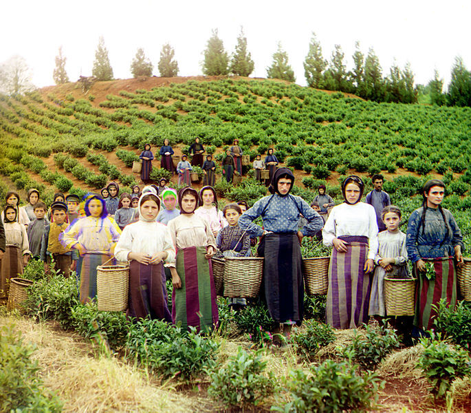 File:Group of workers harvesting tea Chakva Prokudin-Gorsky.jpg